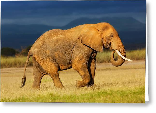 African Elephant Eating Grass Greeting Card by Maggy Meyer