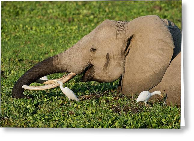 African Elephant Feeding Alongside Egrets Greeting Card by Tony Camacho