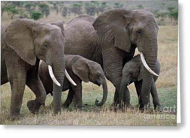 African Elephant Females And Calves Greeting Card by Yva Momatiuk and John Eastcott