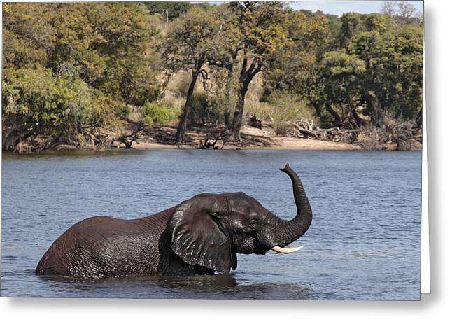 Greeting Card featuring the photograph African Elephant In Chobe River  by Liz Leyden
