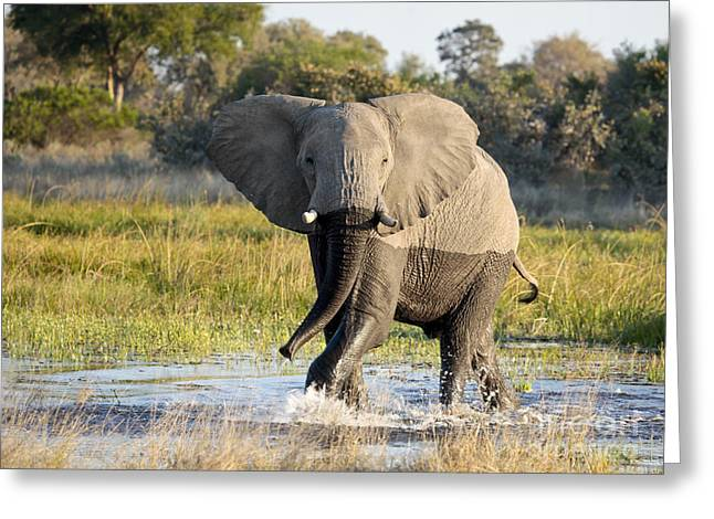African Elephant Mock-charging Greeting Card