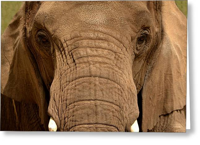 Greeting Card featuring the photograph African Elephant by Nadalyn Larsen