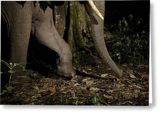 African Elephant Night Walk Kibale Np Greeting Card by Sebastian Kennerknecht