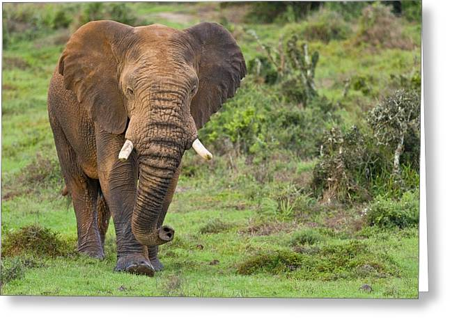 African Elephant Greeting Card by Science Photo Library