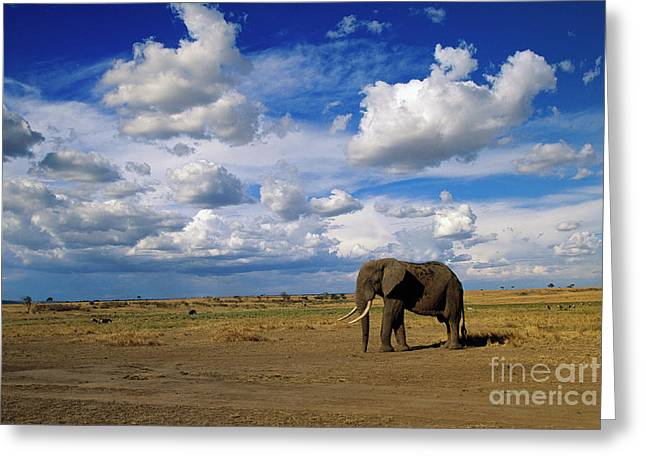 African Elephant Walking Masai Mara Greeting Card