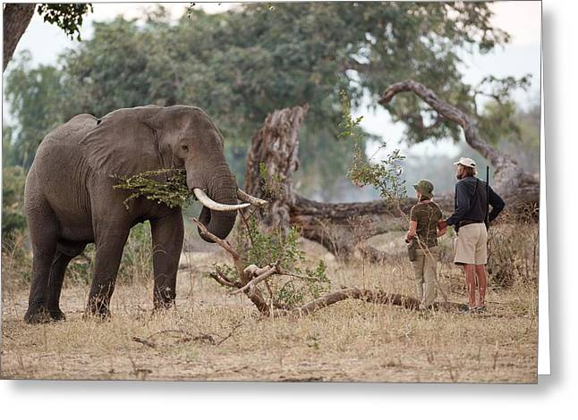 African Elephant With Tourist And Guide Greeting Card by Tony Camacho