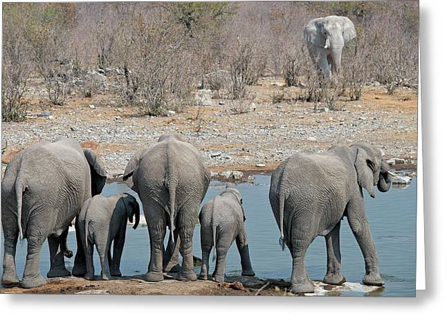 African Elephants Drinking Water Greeting Card