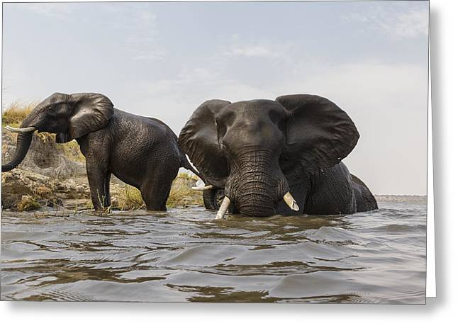 African Elephants In The Chobe River Greeting Card by Vincent Grafhorst