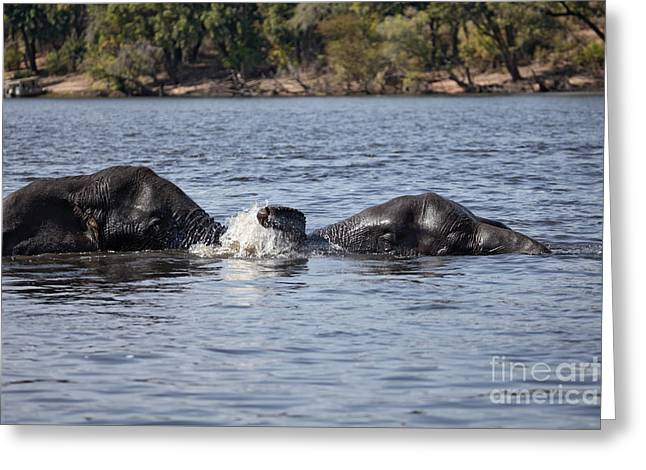 African Elephants Swimming In The Chobe River Botswana Greeting Card by Liz Leyden