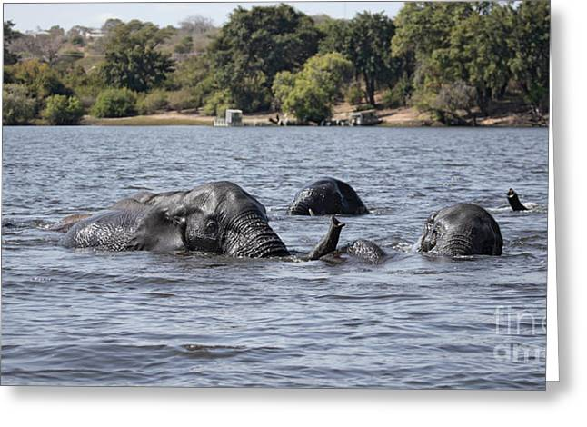 African Elephants Swimming In The Chobe River Greeting Card by Liz Leyden