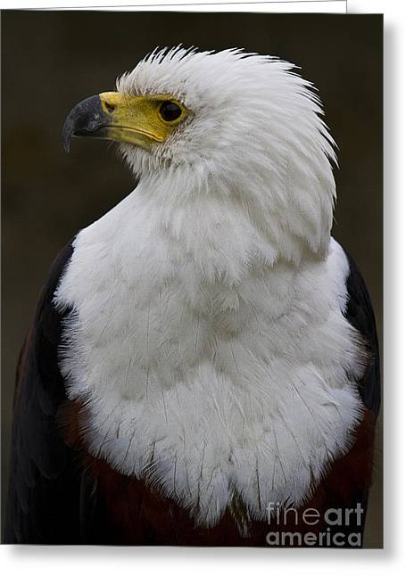African Fish Eagle 4 Greeting Card by Heiko Koehrer-Wagner