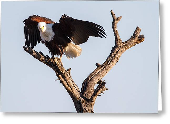 African Fish Eagle Greeting Card by Craig Brown