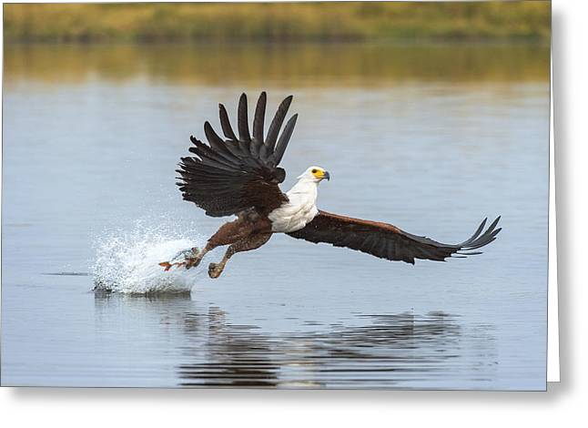 African Fish Eagle Fishing Chobe River Greeting Card