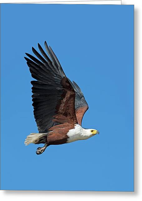 African Fish Eagle In Flight Greeting Card by Tony Camacho