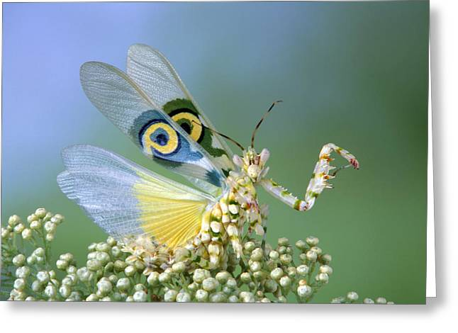 African Flower Mantid Pseudocreobotra Greeting Card by Robert Jensen