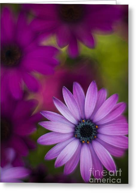 African Gerbera Standout Greeting Card by Mike Reid