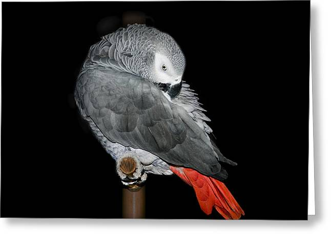 African Grey Parrot Greeting Card by Betty LaRue