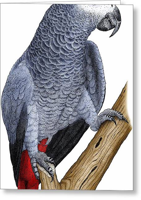 African Grey Parrot Greeting Card by Roger Hall