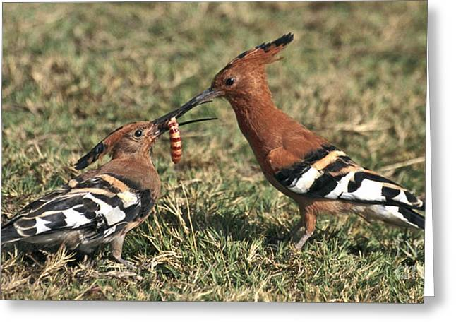 African Hoopoe Feeding Young Greeting Card by Liz Leyden