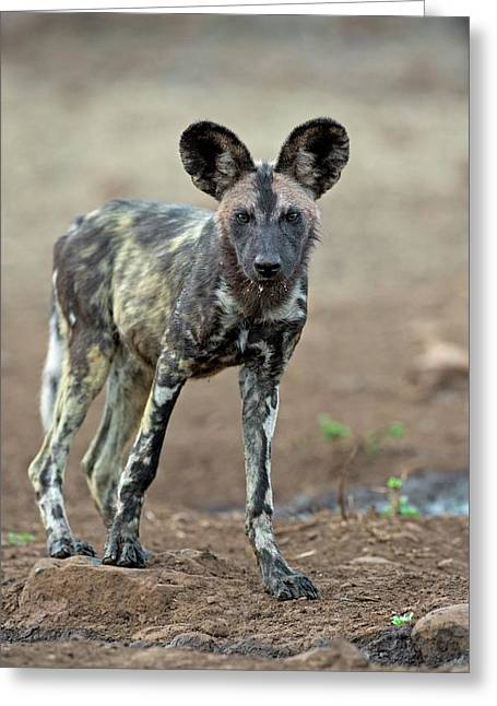 African Hunting Dog Pup Greeting Card