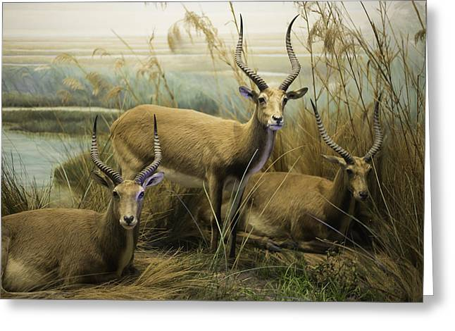 African Impalas Greeting Card by Diego Re
