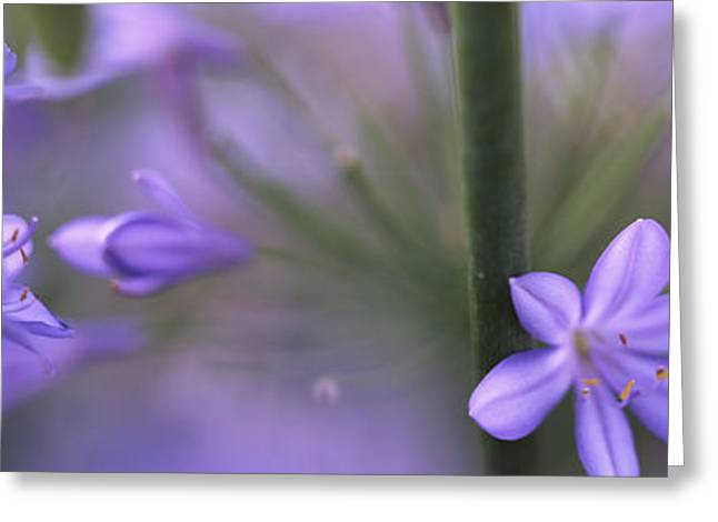 African Lily, Sacramento, California Greeting Card by Panoramic Images