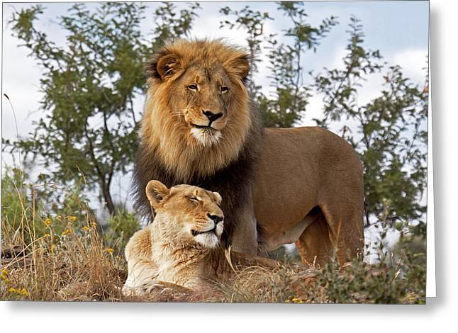 African Lion And Lioness Botswana Greeting Card by Erik Joosten
