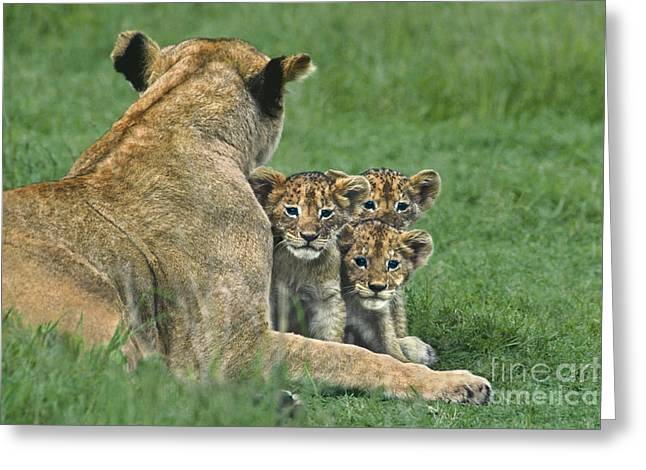 African Lion Cubs Study The Photographer Tanzania Greeting Card