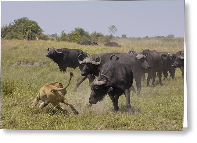 African Lion Evading Cape Buffalo Africa Greeting Card by Pete Oxford