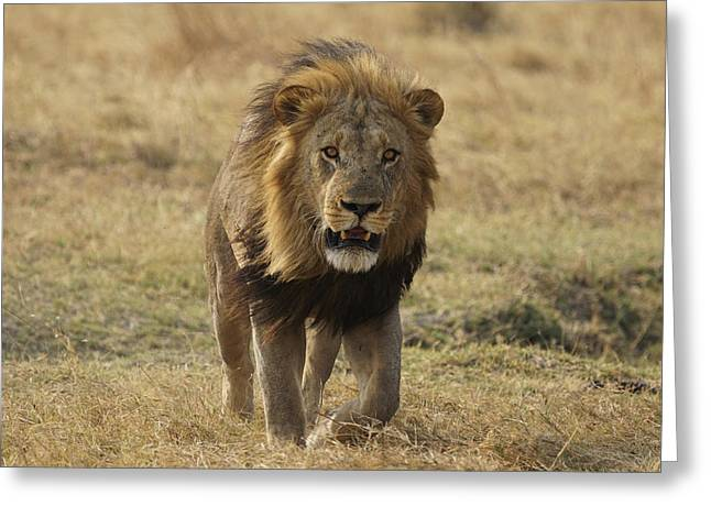 African Lion On Savanna Masai Mara Kenya Greeting Card