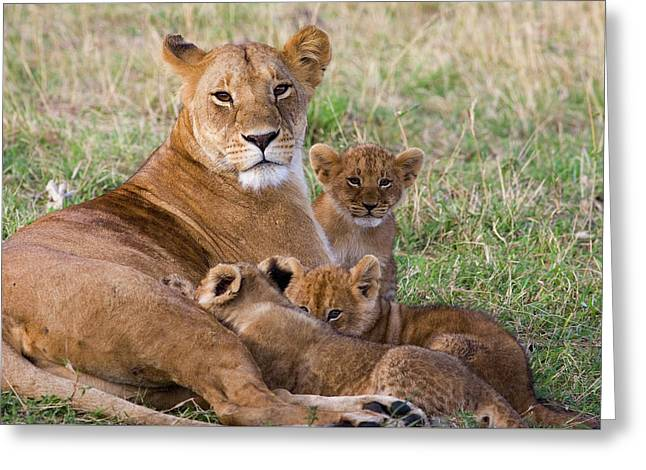 African Lioness And Young Cubs Greeting Card by Suzi Eszterhas