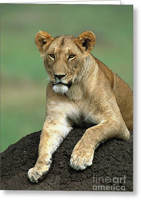 African Lioness Masai Mara Greeting Card by Yva Momatiuk and John Eastcott