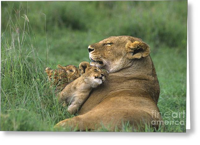 African Lions Mother And Cubs Tanzania Greeting Card