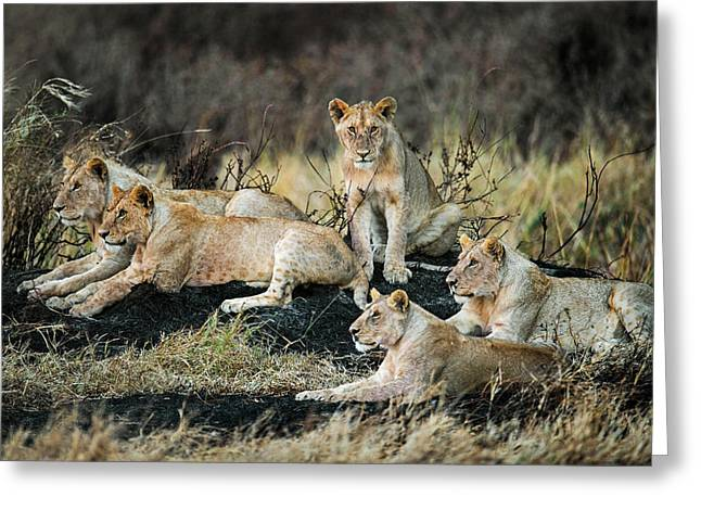 African Lions Panthera Leo In Forest Greeting Card by Panoramic Images