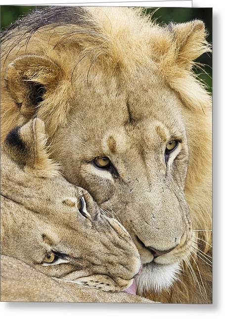 African Lions Greeting Card by Science Photo Library