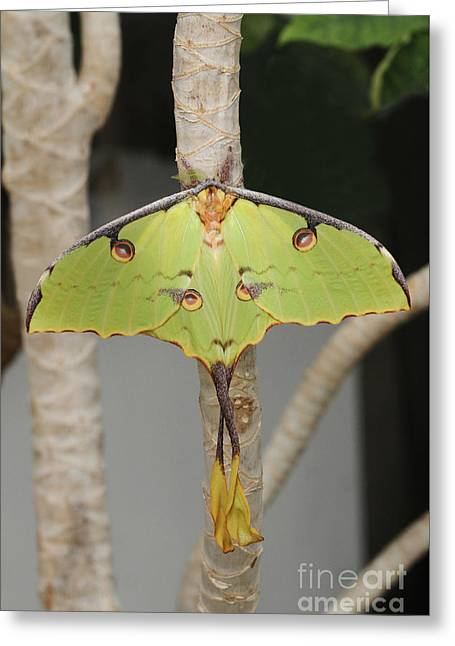 African Moon Moth Greeting Card