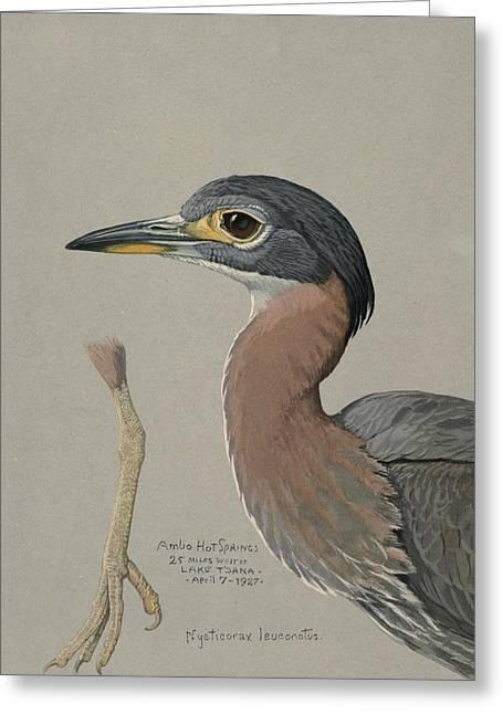 African Night Heron  Greeting Card