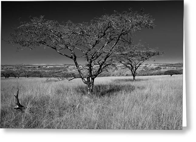 African Oak Greeting Card by Scott Moore