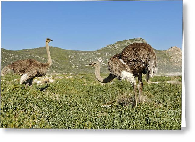 African Ostriches Foraging Next To Beach Greeting Card by Sami Sarkis