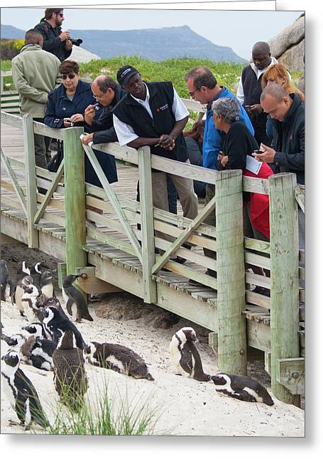 African Penguin Colony Greeting Card