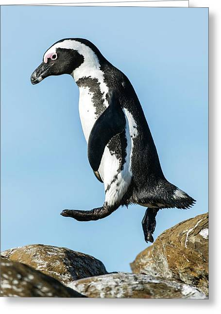 African Penguin Leaping Between Rocks Greeting Card