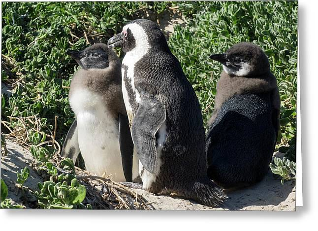 African Penguin Spheniscus Demersus Greeting Card by Panoramic Images
