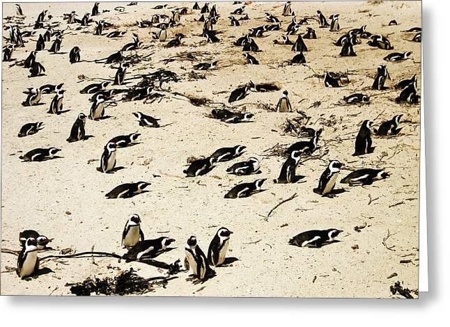 African Penguins Greeting Card by Oliver Johnston