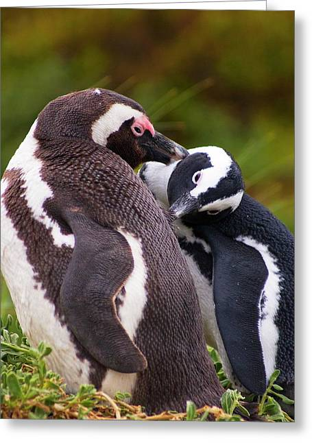 African Penguins Preening. Greeting Card by Mark Williamson