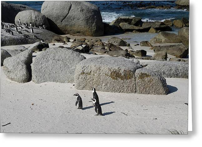 African Penguins Spheniscus Demersus Greeting Card by Panoramic Images