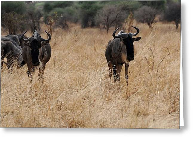 African Series Widerbeest Greeting Card by Katherine Green