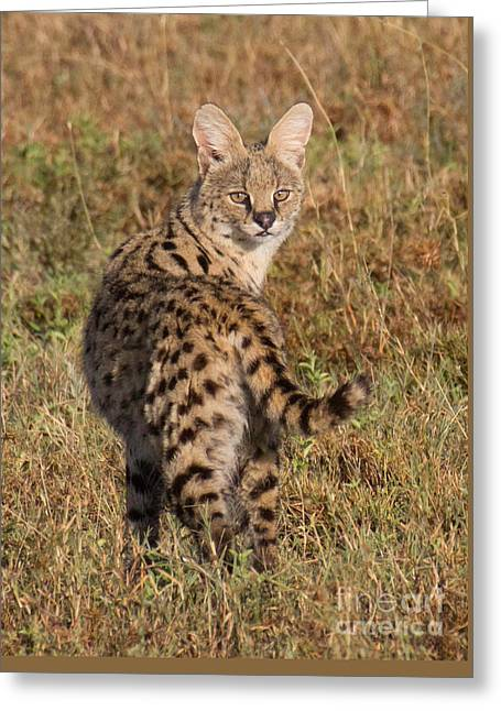 African Serval Cat 1 Greeting Card by Chris Scroggins