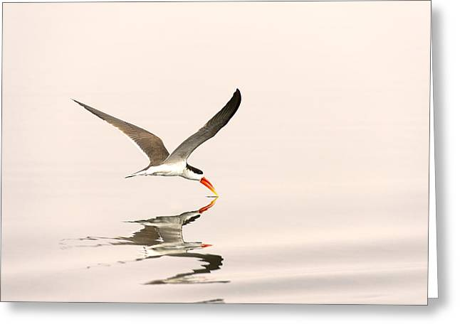 African Skimmer Foraging Chobe Np Greeting Card by Andrew Schoeman