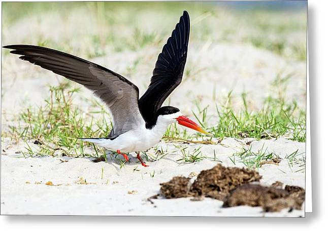 African Skimmer Raises Its Wings Greeting Card by Peter Chadwick