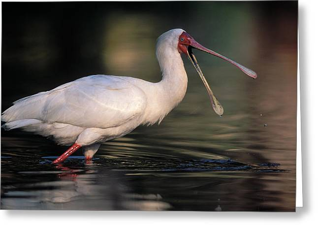 African Spoonbill Greeting Card